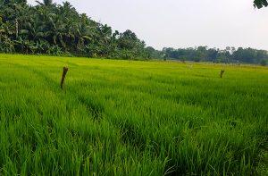 lendid Land Next to Rice Paddy Fields