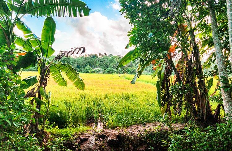 tranquil-rice-paddyfront-land-001
