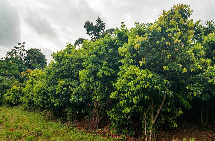 prolific-cinnamon-plantation-001