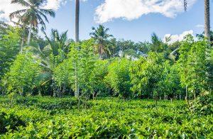small-plantation-closer-to-the-ahangama-beach-006