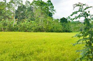 small-plot-adjoining-a-rice-paddy-field-001