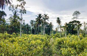 idyll-coconut-land-amid-paddy-fields-002